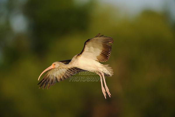 White Ibis (Eudocimus albus), immature in flight, Fennessey Ranch, Refugio, Coastal Bend, Texas Coast, USA.