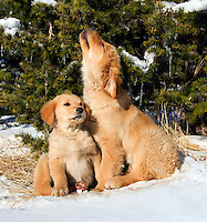 Golden retriever puppies under evergreen tree with icicles, larger puppy biting at icicle