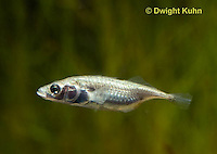 1S10-557z  Female Threespine Stickleback, female's belly distended and luminous with a load of 50-500 eggs, Marine form,  Gasterosteus aculeatus