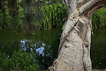 Israel, Sharon region, Eucalyptus tree by Hadera River