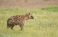 Spotted Hyena, Crocuta crocuta, in Lake Nakuru National Park, Kenya