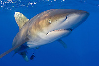 oceanic whitetip shark, Carcharhinus longimanus, Hawaii, Pacific Ocean (do)