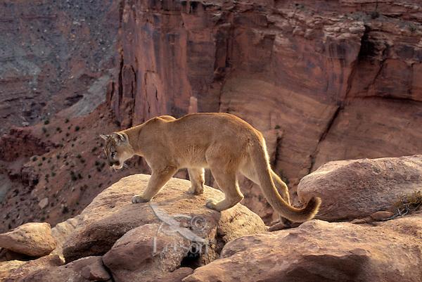 COUGAR/MOUNTAIN LION/PUMA..Near Canyonlands National Park,.Utah. Autumn. (Felis concolor).