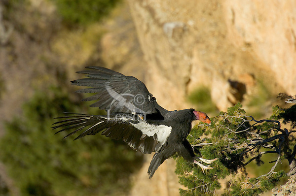 California Condor (Gymnogyps californianus) landing on cliff edge .  Western U.S.