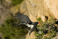 California Condor (Gymnogyps californianus) landing on cliff edge .  Western U.S.