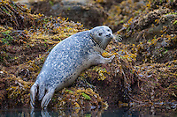 Harbor Seal (aka Common Seal) (Phoca vitulina) hauls itself up on to a rocky island in Kukak Bay, Katmai National Park, Alaska.