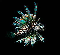 Lionfish <br /> Caribbean