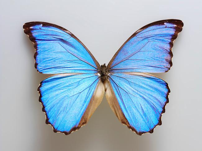 Brazilian Blue butterfly photo. Funky stock butterfly photos