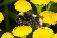 Helle Erdhummel, Weißschwanz-Erdhummel, Bombus lucorum, beim Blütenbesuch, Nektarsuche, Bestäubung auf Rainfarn, white-tailed bumble bee