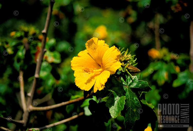 The native yellow hibiscus (brackenridgei) is the state flower of Hawaii.