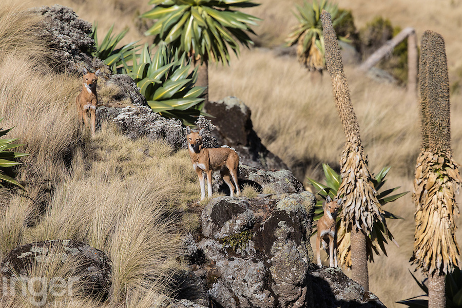Simien or Ethiopian Wolf in the Simien Mountains of Ethiopia