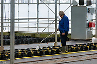 ; wateringWatering trays of tulips - Lincolnshire, February