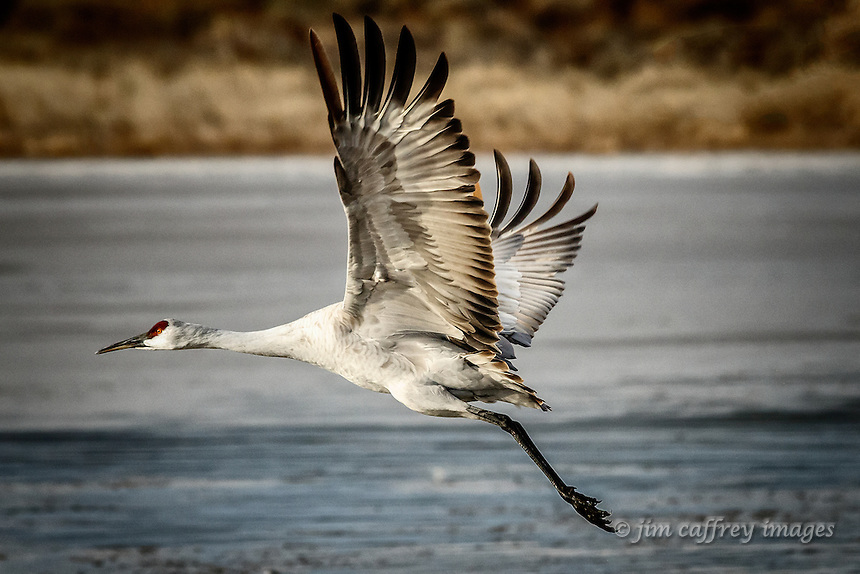 A sandhill crane flies above the Chupadera crane Pond at Bosque del Apache National Wildlife Refuge in south-central New Mexico.