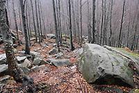 - beech tree forest in Parmesan Appennines mounts ....- bosco di faggi nell'Appennino Parmense