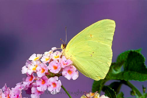Sulfur butterfly sitting among and feeding on pink lantana blooms, Midwest USA