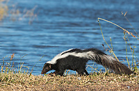 Striped Skunk, Mephitis mephitis, in Sacramento National Wildlife Refuge, California