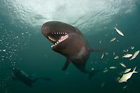 scuba diver and false killer whale, Pseudorca crassidens (c,dm)