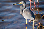 Ding Darling National Wildlife Refuge, Sanibel Island, Florida; a Tricolored heron (Egretta tricolor) bird foraging for food in the shallow water near the shore of the refuge © Matthew Meier Photography, matthewmeierphoto.com All Rights Reserved