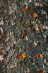 Monarch butterflies on a tree trunk in El Rosario Butterfly Sanctuary, Mexico.