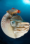Chambered nautilus with radio transmitter - nautilus pompilius