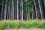 Eucalyptus Trees Near Honokaa