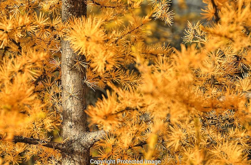Golden Tamarac tree in autumn.