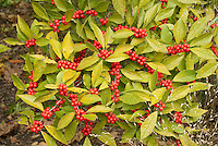 Ilex verticillata in winterberry red berries with foliage