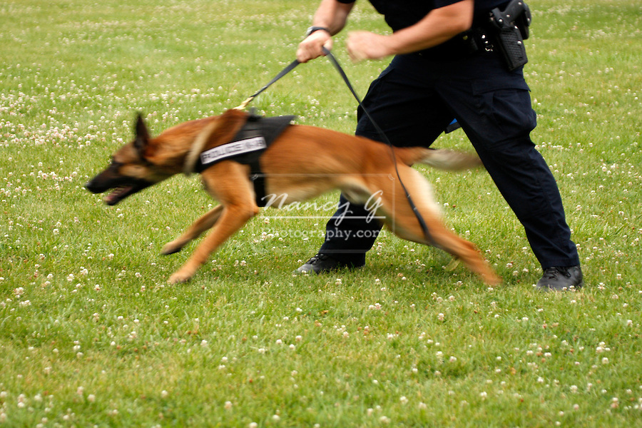 Police K-9 dog ready for attack blur for action
