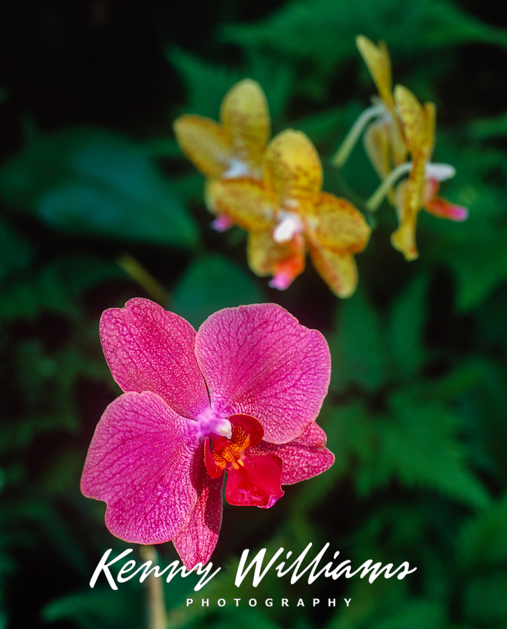 Pink and Yellow Orchid Flowers, Hawaii, USA.