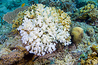 Bleached coral, Mantanani Island, Malaysia.