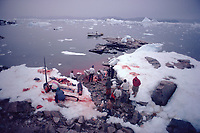 Inuit hunters butcher a Narwhal, Monodon monoceros, The water stains red as the intestines are washed. Northwest Greenland, Arctic
