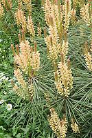 Pinus need id pine tree