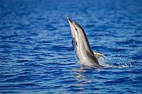 Stenella coeruleoalba, Striped Dolphin, Leaping, Azores-Portugal