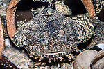 oyster toadfish, full body view head-on