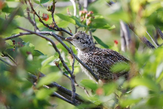 A young ruffed grouse in a bush