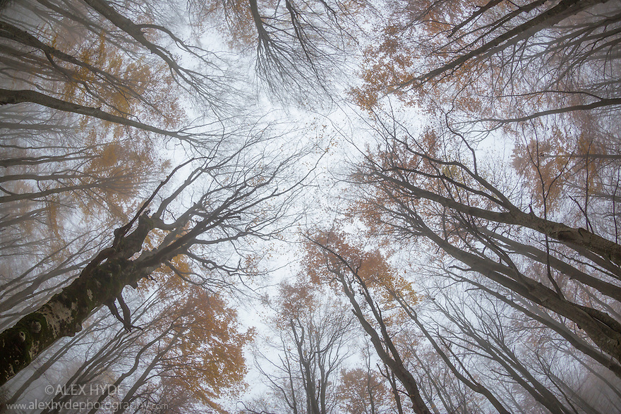 Looking up at the canopy of a Beech woodland {Fagus sylvatica} in autumn.  Plitvice Lakes National Park, Croatia. October.