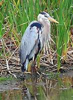 Great blue heron adult standing at edge of marsh
