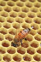 A bee on a honey comb.