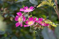 Rotblatt-Rose, Rotblättrige Rose, Hecht-Rose, Hechtrose, Bereifte Rose, Rosa glauca, Rosa rubrifolia, Roas rubifolia, red-leaved rose, redleaf rose, Le rosier à feuilles rouges