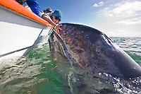 A curious California Gray whla (Eschrichtius robustus) calf approaches the panga in San Ignacio Lagoon on the Pacific Ocean side of the Baja Peninsula, Baja California Sur, Mexico. Each winter thousands of California gray whales migrate from the Bering and Chukchi seas to breed and calf in the warm water lagoons of Baja California. San Ignacio lagoon is the smallest of the three major such lagoons. Current (2008) population estimates put the California Gray whla at between 20,000 and 24,000 animals.