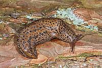 Großer Schnegel, Tigerschnegel, Tiger-Schnegel, Große Egelschnecke, Limax maximus, European giant gardenslug, great grey slug, spotted garden slug, Nacktschnecke, Nachtschnecken