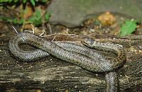 Schlingnatter, Schling-Natter, Glattnatter, Glatt-Natter, Natter, Coronella austriaca, smooth snake, smooth-snake