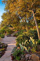 Engelmann Oak (Quercus engelmannii) with Opuntia ficus-indica, Prickly Pear or Indian fig cactus by patio in Debra Lee Baldwin garden