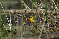 Female Prothonotary Warbler (Protonotaria citrea) hunting insects in marsh.  Great Lakes Region, May.