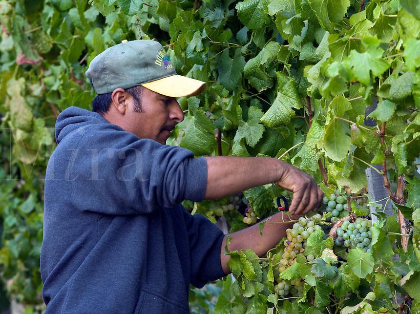 A farm worker picks SAUVIGNON BLANC grapes at JOULLIAN VINEYARDS - CARMEL VALLEY, CALIFORNIA MR