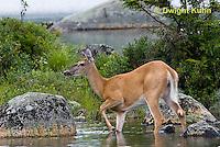 MA11-525z  Northern (Woodland) White-tailed Deer, Odocoileus virginianus borealis
