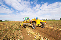 Windrowing onions - Lincolnshire, July