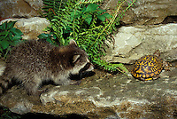 Baby raccoon chases an ornate box turtle for food, Missouri USA (series)
