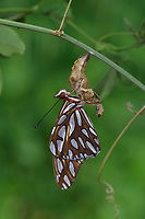 Gulf Fritillary (Agraulis vanillae), butterfly expanding wings after  emerging from chrysalis, Hill Country, Central Texas, USA