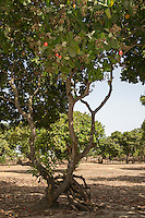 Red Cashew Apples and Nuts in Tree, near Sokone, Senegal.  This is an example of a well-tended farm, where underbrush has been removed and low branches have been pruned from the trees, facilitating movement underneath the trees.